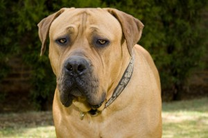 Boerboel Large and Medium Dog Breeds