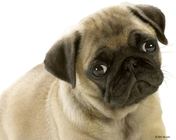 Cute Pug Genetic Endocrine Disorders mixed breed dogs