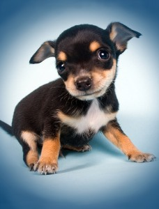 Get Puppy or Adult Dog Cute Puppy