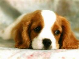 Thinking about getting a purebred dog spaniel puppy