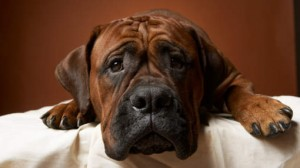 Genetic Disorders in Mixed Breed Dogs
