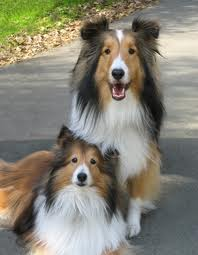 Dog Grooming Tips Sheltie