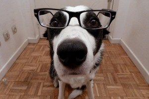 A Border Collie in Glasses by by Monsieur Gordon