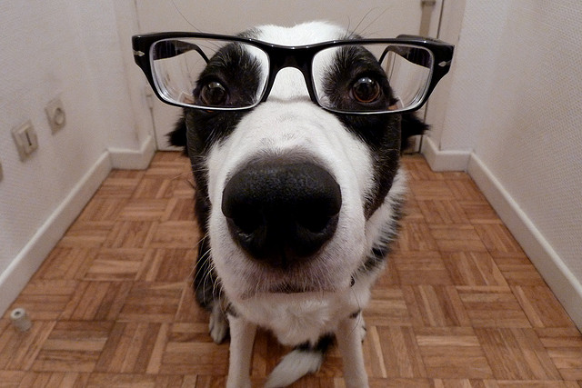 Photo: Cute Border Collie in Glasses