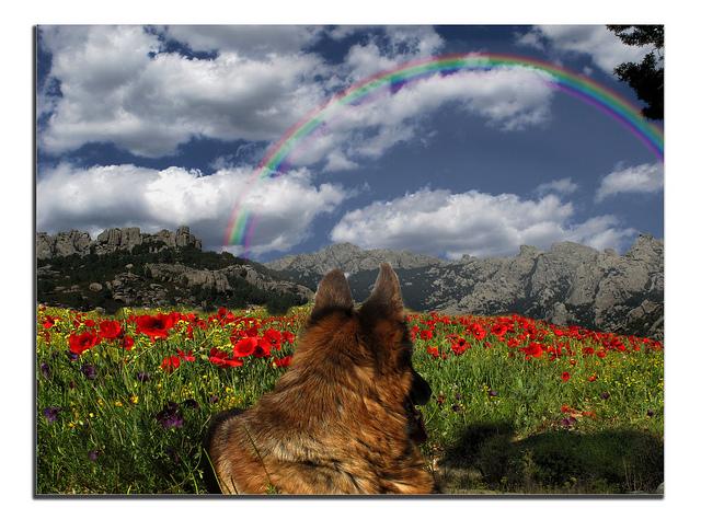 A German Shepherd in the field by jacilluch
