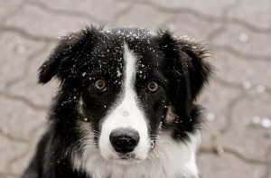 A border collie snow by Azoome