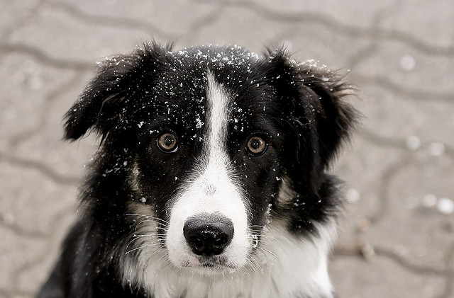 Photo: Border Collie in the Snow