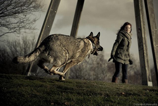 A german shepherd in the park by haroldmeerveld