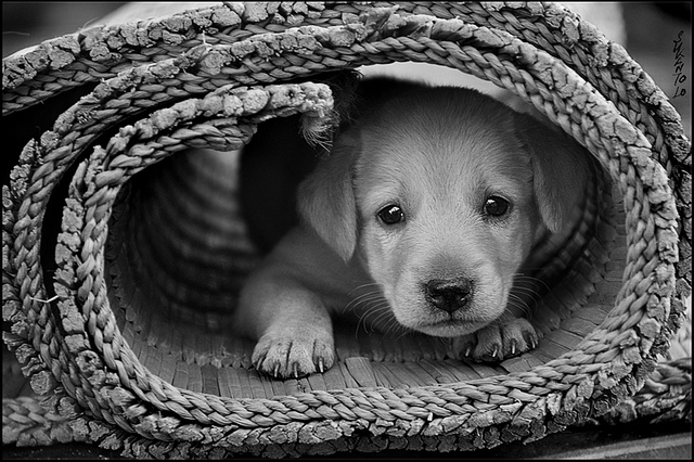 Cute puppy dog by Sukanto Debnath on Flickr
