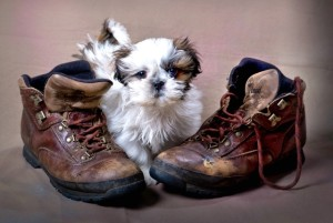 Cute Puppy with shoes MF