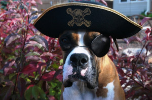 Pirate dog by petsadvisor on Flickr